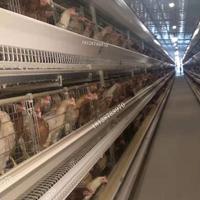 大批量復式養殖白鴿 蛋雞