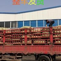 铁皮石斛栽培基质松树皮发酵松树皮